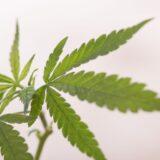 大麻のQ&A